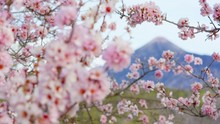 Sakura Buds Opened Into Beautiful Flowers At The Foot Of Mount Fuji Cherry Tree Delicate Buds And Petals Of Beautiful Pink Flowers On The Background Of The Volcano Shot URSA 4.6K