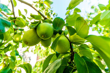 Unripe Green Pears Hang On A T...