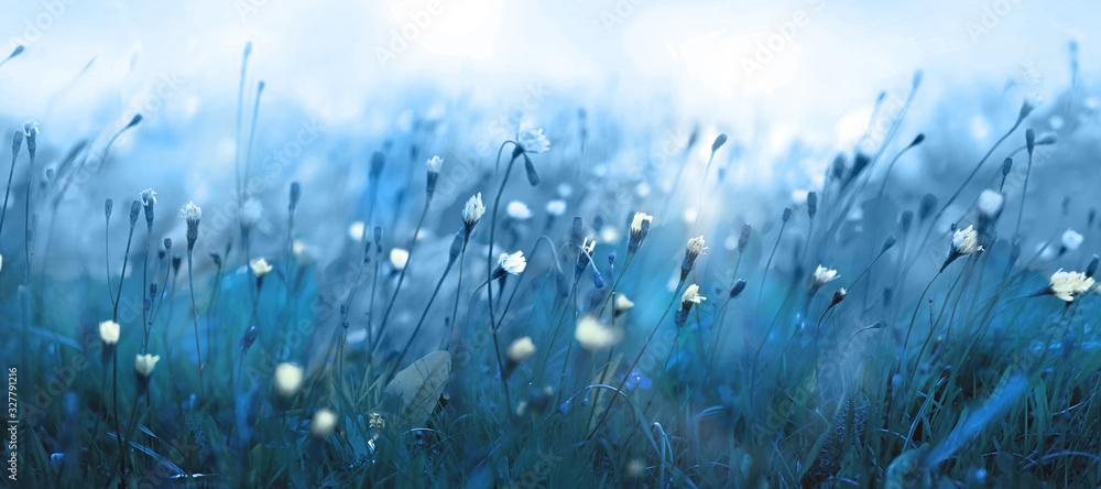 Fototapeta Mysterious soft blue misty morning in the meadow