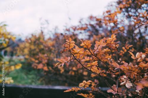 Yellow rowan leaves in autumn Wallpaper Mural