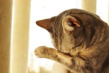 泣く猫花粉症で目がかゆい猫アメリカンショートヘア。Crying Cat Hay Fever And Itchy Eyes American Shorthair.