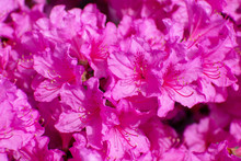 Bright Pink Rhododendron Flowers Closeup
