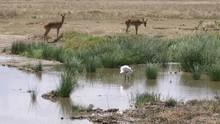 Impalas On Waterhole