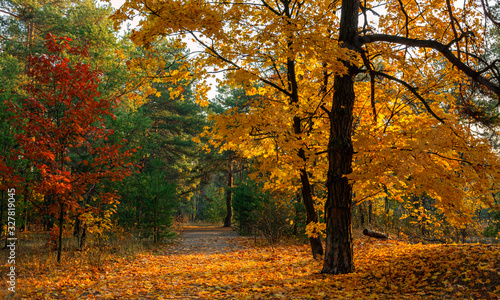 Sun rays play in the branches of trees. Autumn forest. Autumn colors. Morning. Walk in the woods. © Mykhailo