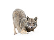 Wolf prepared for the jump isolated on a white background.