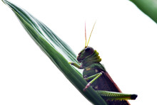 A Large Green Grasshopper Sits...