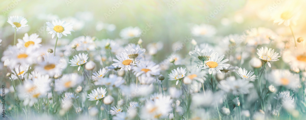 Fototapeta Beautiful nature, selective and soft focus on daisy flower in meadow, daisy flowers lit by sunlight