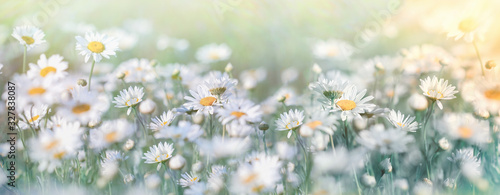 Plakaty do salonu  beautiful-nature-selective-and-soft-focus-on-daisy-flower-in-meadow-daisy-flowers-lit-by