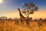 Fototapeta Sawanna - Giraffe in Sunset in Kruger National Park, South Africa