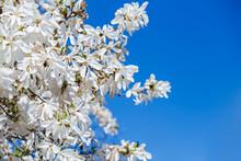 Large Delicate White Magnolia ...