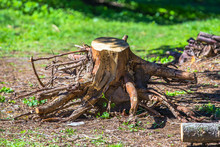 Old Uprooted Tree Stump In Forest. Dead Stump Torn With Roots Deforestation, Ecology