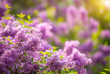 Beautiful Syringa Vulgaris Or ...