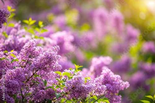 Beautiful Syringa vulgaris or lilac blossom in spring time in Prague