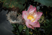 Lonely Lotus Flower In Wetland, Freshness And Beauty Amid Faded Lotus Flowers