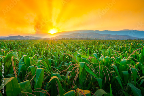 Obraz green corn field in agricultural garden and light shines sunset - fototapety do salonu