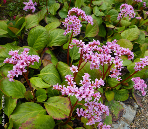 Close up of a blooming pink heart-leaved bergenia cordifolia or badan plant with Canvas Print