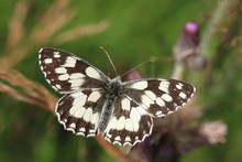 Butterfly Marbled White Sittin...