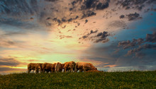 Cow In A Field And Sunset