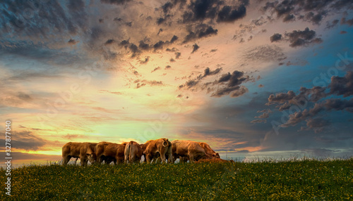 cow in a field and sunset Fotobehang
