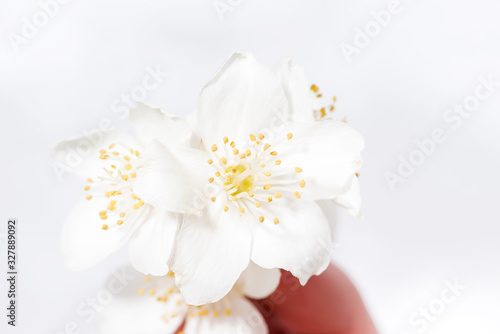 jasmine flower in hand and white background, closeup Canvas Print