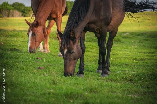 Fototapeta Caballo en el campo comiendo pasto obraz
