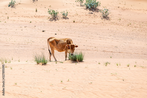 Cow in the sand dunes Poster Mural XXL
