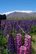 Mackenzie Country Neuseeland Südinsel