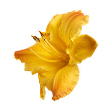 Yellow Daylily Flower Isolated...