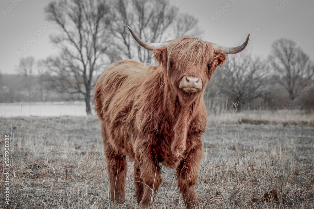 Fototapeta Scottish highlander a beautiful wild cow with huge horns in the swampy grass near the rainy river IJssel in the nature reserve near Fortmond, the Netherlands