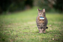 Tabby Domestic Shorthair Cat Outdoors On Grass Wearing Gps Tracker Attached To Collar With Copy Space In The Background