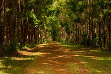 Pathway Of The Wai Koa Loop Trail Or Track Leads Through Plantation Of Mahogany Trees In Kauai, Hawaii, USA