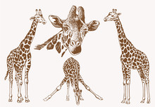 Graphical Vintage Set Of Giraf...