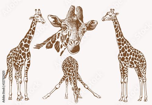Graphical vintage set of giraffes , sepia illustration Wallpaper Mural