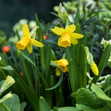 City Landscaping. Daffodils And Primrose Against Backdrop Of An Evergreen Plant
