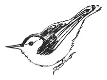 Vector Sketch Of Nuthatch