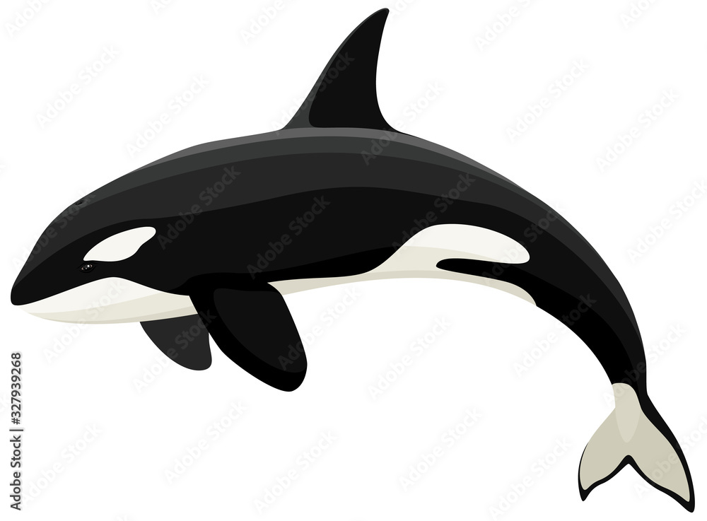 Fototapeta Vector illustration of an orca (killer whale).