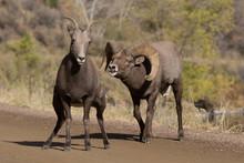 Big Horn Sheep Ram Chasing Eu
