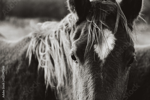 Fototapeta Vintage western quarter horse closeup. obraz na płótnie
