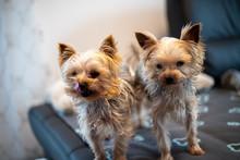 Close-up Of 2 Yorkshir Terrier...