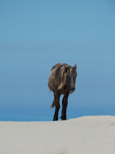 Young Wild Horses Of Sable Isl...