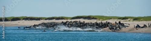 Fotografia Large Group Seals splashing going into water on Sable Island beach Nova Scotia C