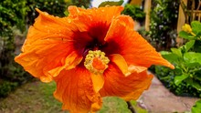 Closeup Shot Of A Beautiful Orange Hibiscus Flower