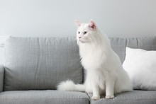 Cute White Maine Coon Cat At H...