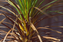 Tropical Looking Cordyline Gra...
