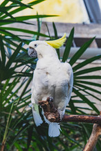 A Picture Of Sulphur-crested C...