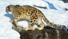 The Snow Leopard Is A Large Ca...