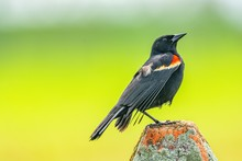 Red-winged Blackbird Resting On Concrete Pole