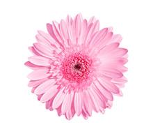 Pink Gerbera Or Barberton Dais...