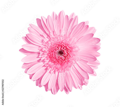 Pink gerbera or barberton daisy flower blooming with water drops isolated on whi Wallpaper Mural