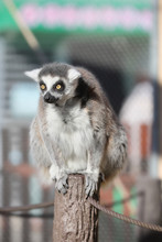 Ring-tailed Lemur Finds Someth...